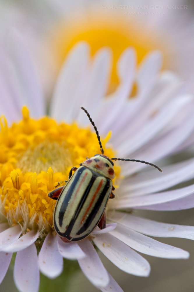 beetle-on-aster-logo