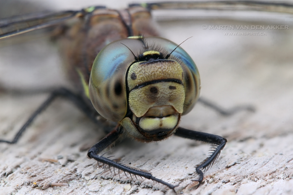 close-up-dragonfly-logo