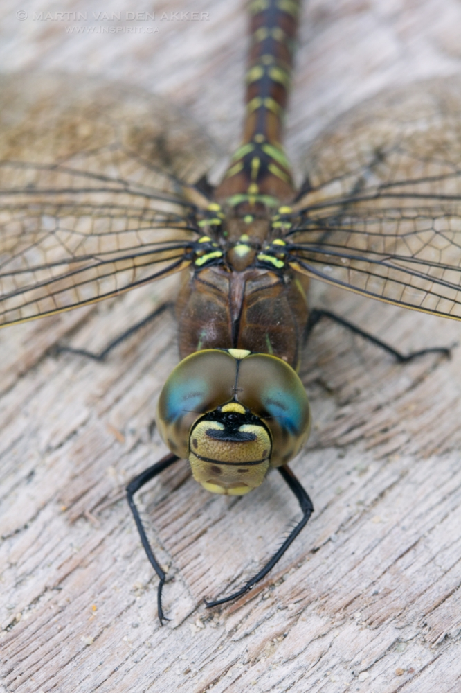 dragonfly-boardwalk-logo