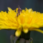 grasshopper-dandelion-logo