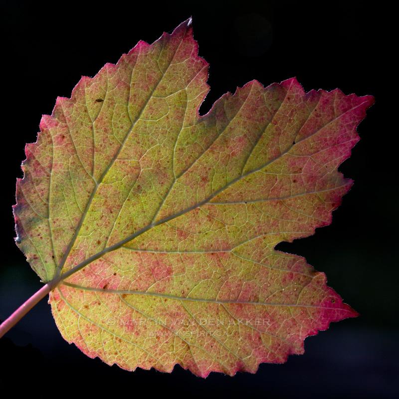 fall-leaf-m-square-logo