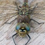 dragonfly-boardwalk-logo